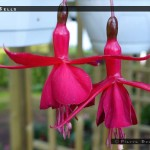 Red Bells