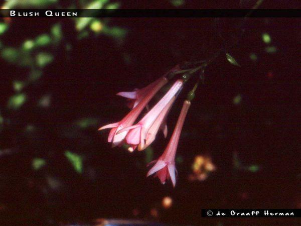 Blush Queen