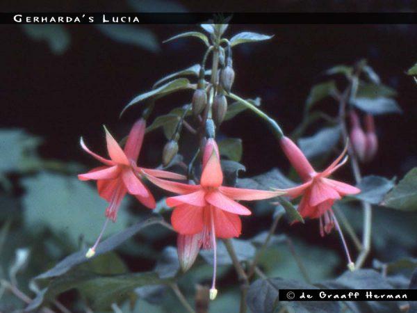 Gerharda's Lucia