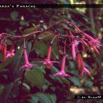 Gerharda's Panache