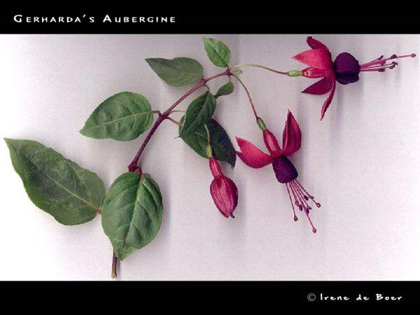 Gerharda's Aubergine