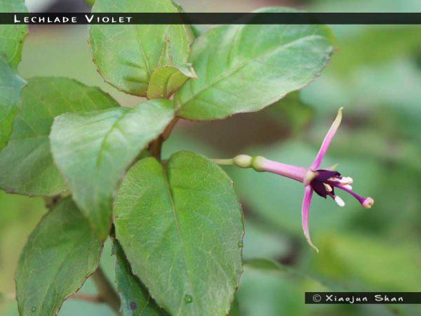 Lechlade Violet
