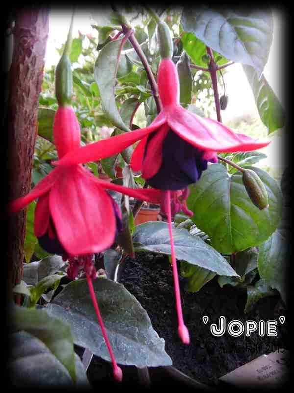 Jopie
