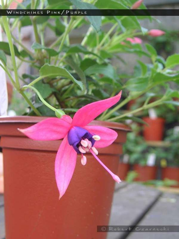 Windchimes Pink Purple