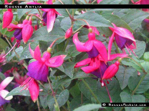 Roesse Antlia