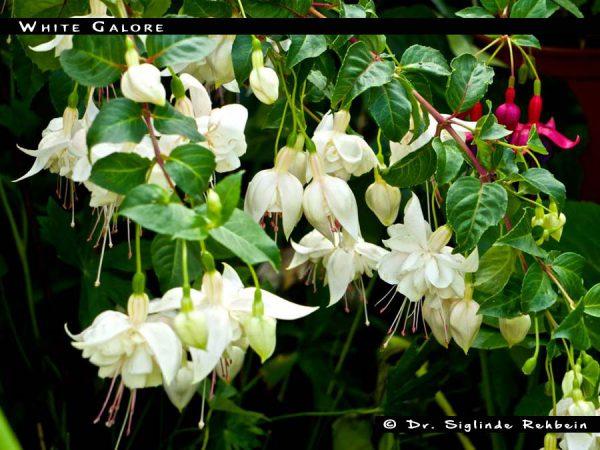 White Galore