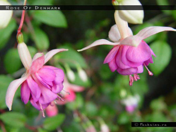 Rose Of Denmark
