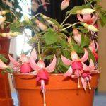 Pink La Campanella