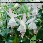Windchimes White