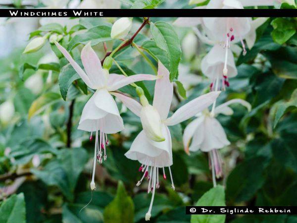 Windchimes White