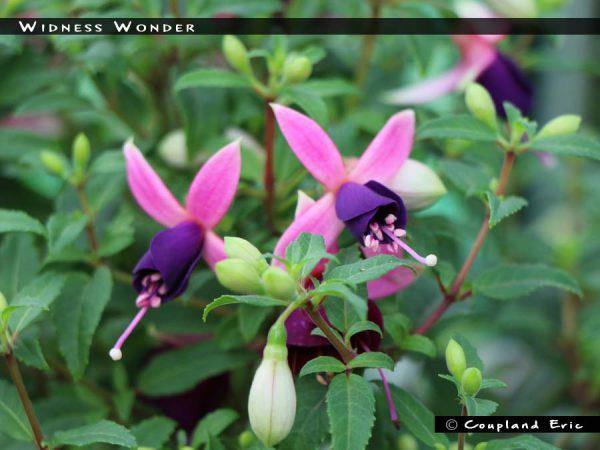 Widnes Wonder