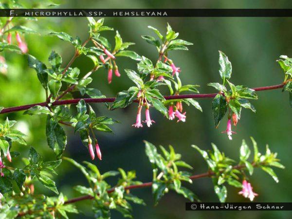 F. microphylla ssp. hemsleyana