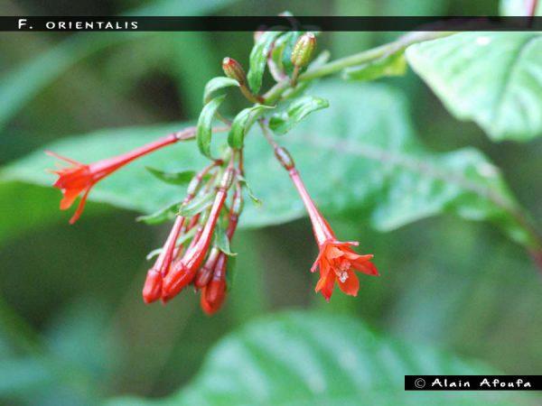 F. orientalis