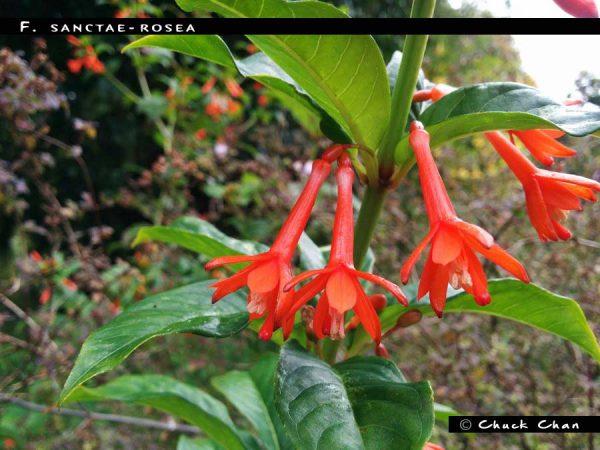 F. sanctae-rosea