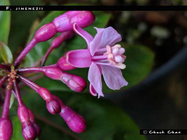 F. jimenezii