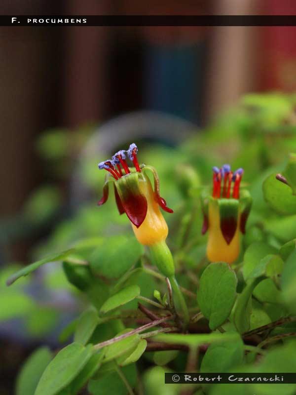 F. procumbens
