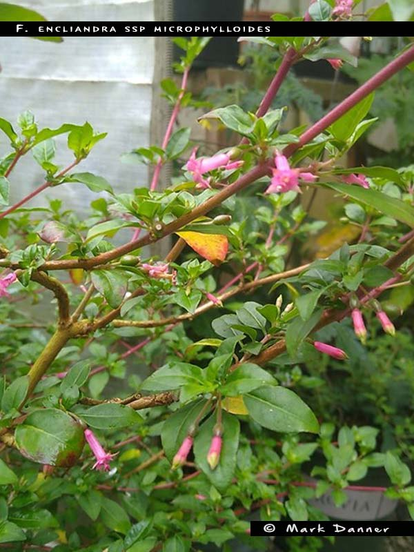 F. encliandra ssp. microphylloides