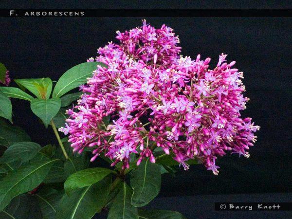 F.arborescens