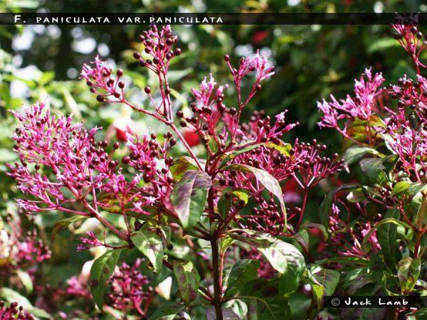 F.paniculata var.paniculata