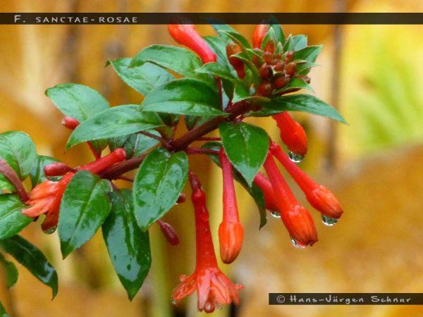 F.sancta-rosae