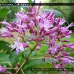 F. paniculata 'Mixensis'