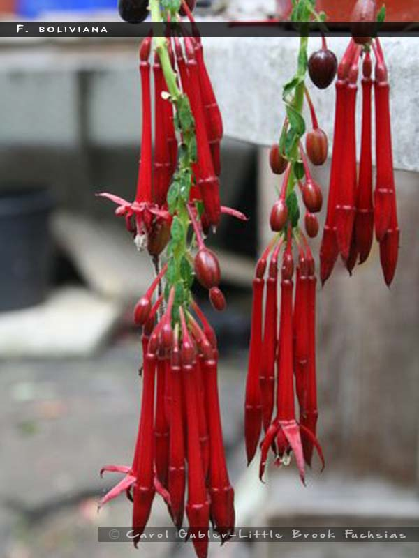 F.boliviana