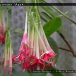 F.boliviana 'Alba'