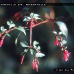 F. microphylla ssp.microphylla
