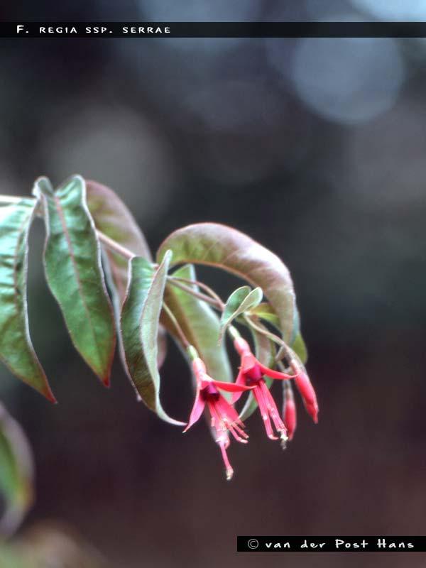 F.regia ssp.serrae