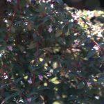 F. thymifolia ssp.thymifolia