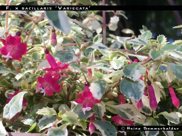 F. x bacillaris 'Variegata'