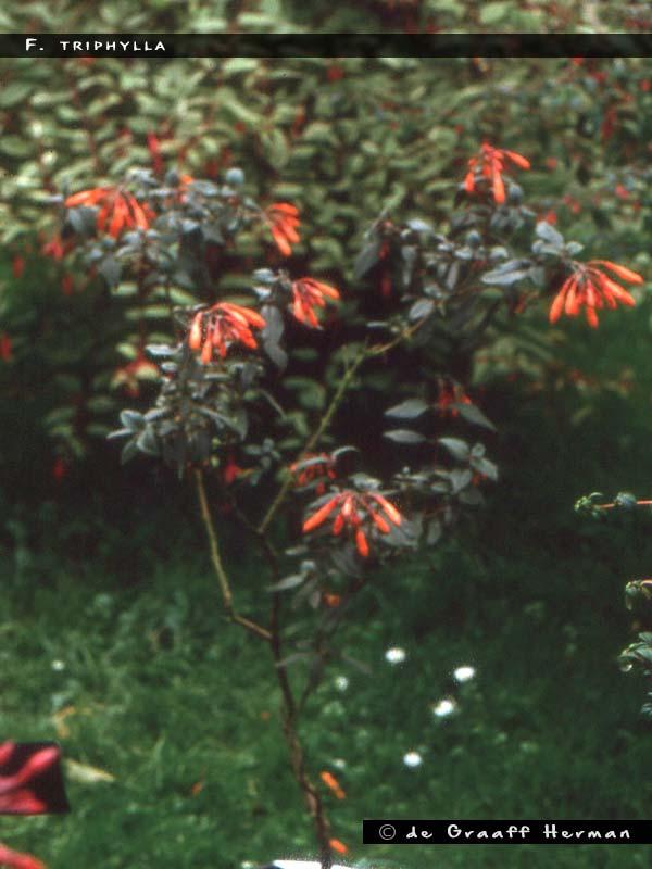 F.triphylla