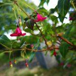 F. encliandra ssp.encliandra