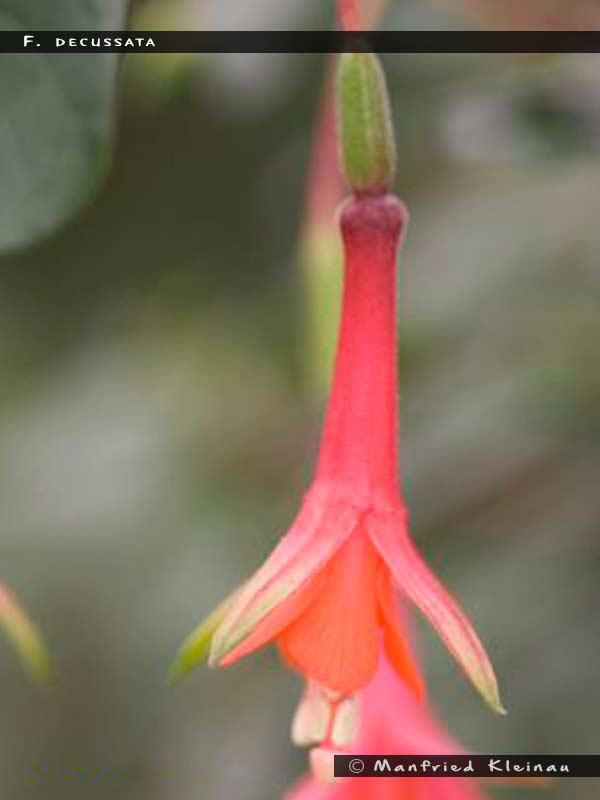 F. decussata