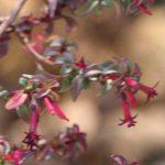 F. encliandra