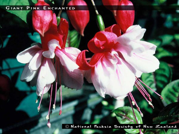 Giant Pink Enchanted