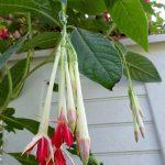F. corymbiflora