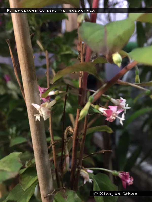 F. encliandra ssp.tetradactyla