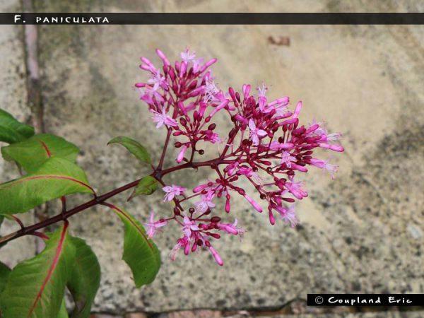 F. paniculata
