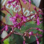 F. arborescens