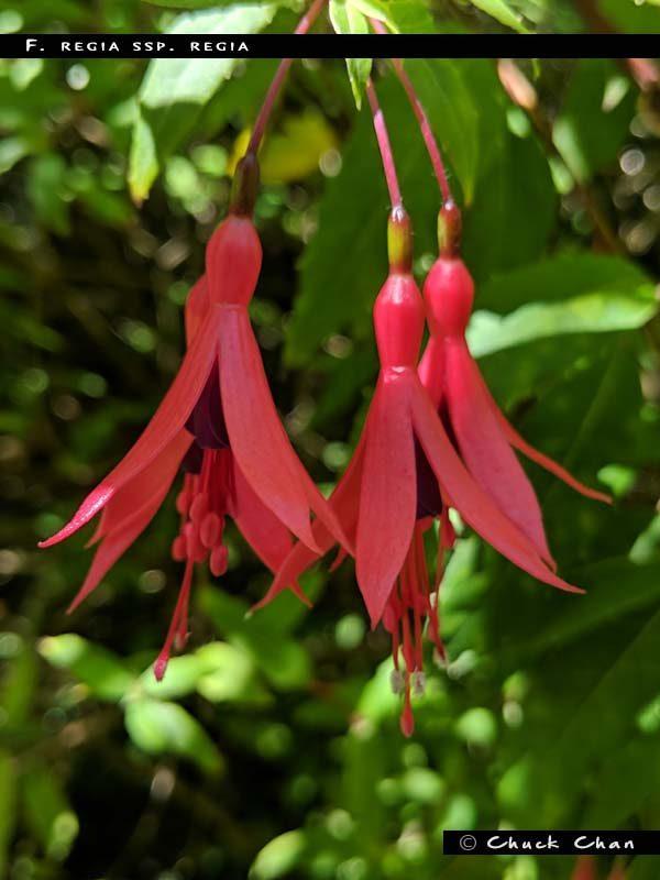 F. regia ssp. regia