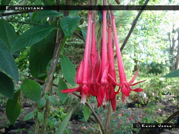 F. boliviana