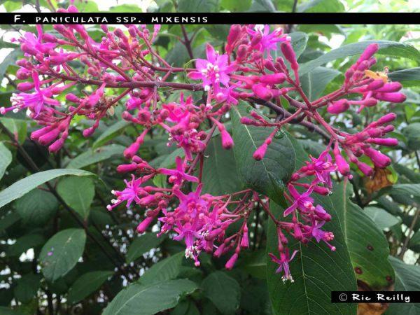 F. paniculata ssp.mixensis1