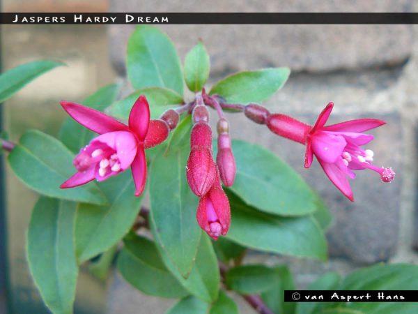 Jaspers Hardy Dream
