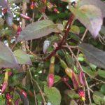 F. perscandens