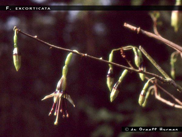 F. excorticata