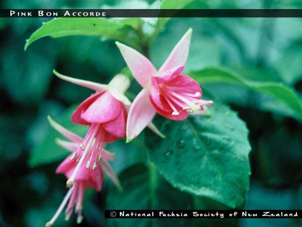 Pink Bon Accorde