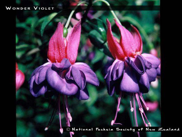 Wonder Violet
