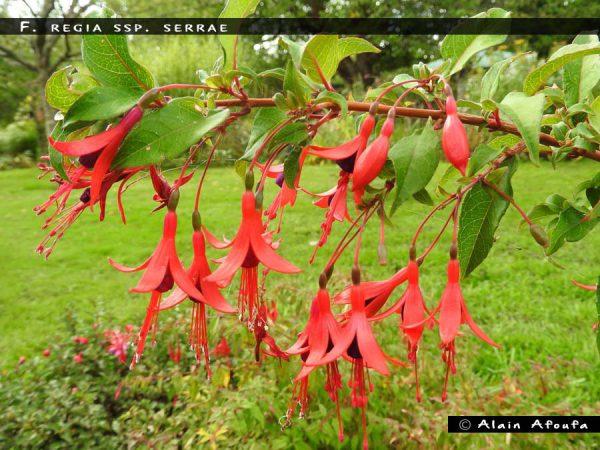 F. regia ssp. serrae