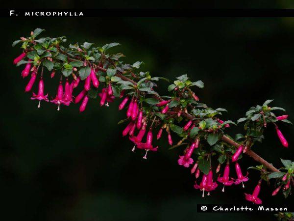F. microphylla